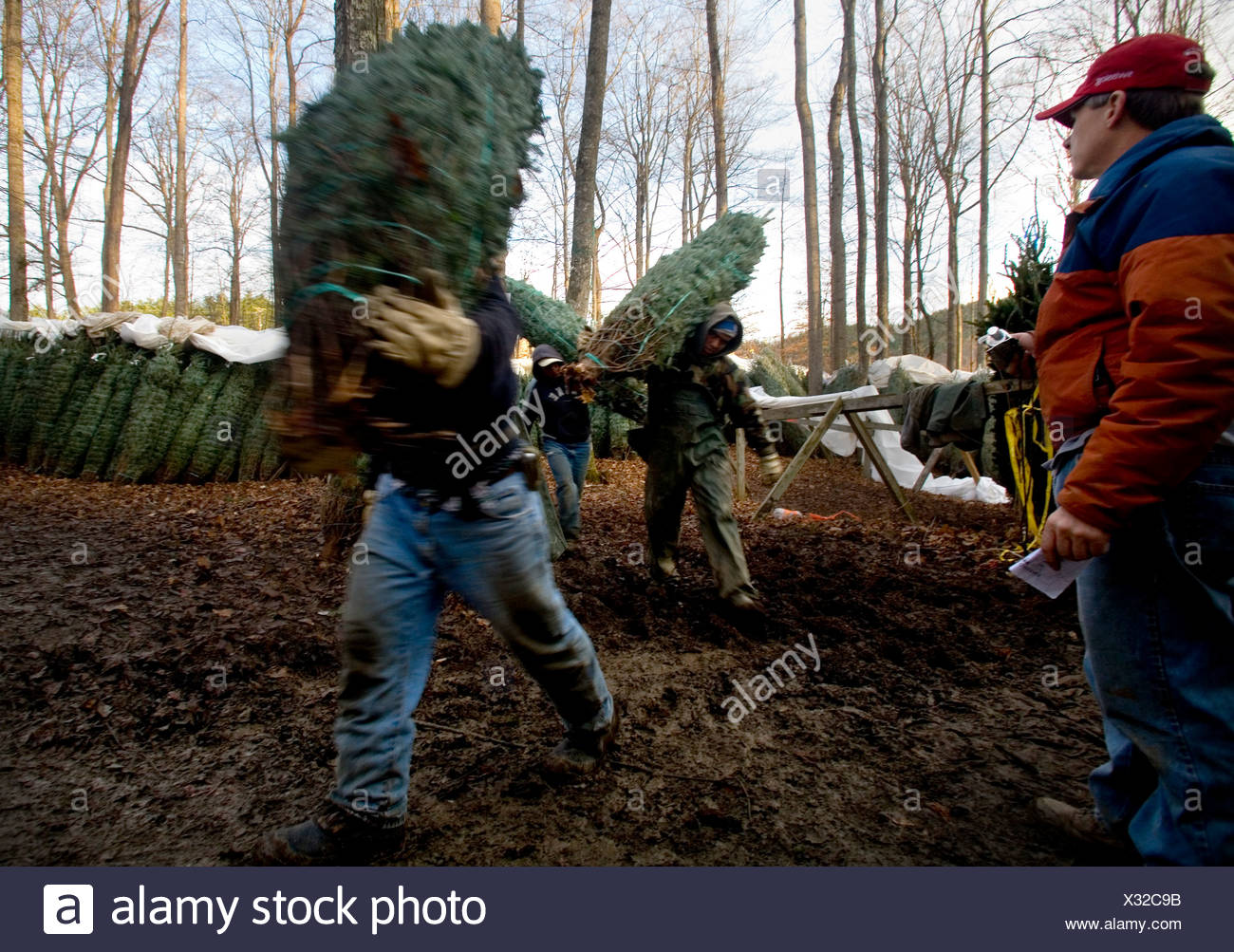 Workers loading trees at a Christmas Tree Farm in Zionville North ...