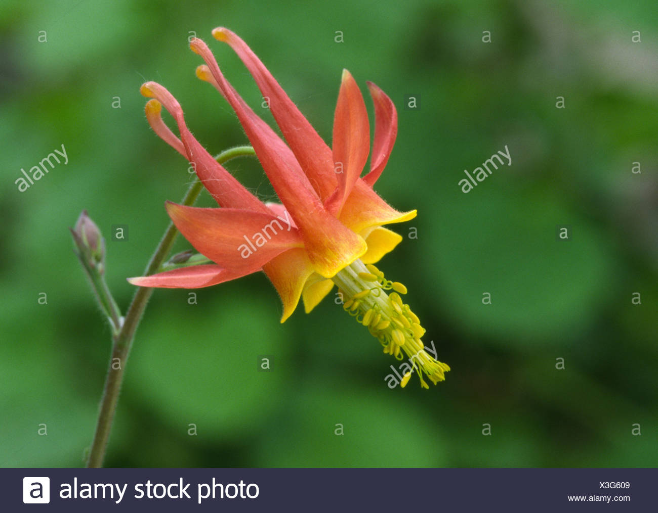 Close Up Of A Columbine Flower Aquilegia Formosa Growing In A