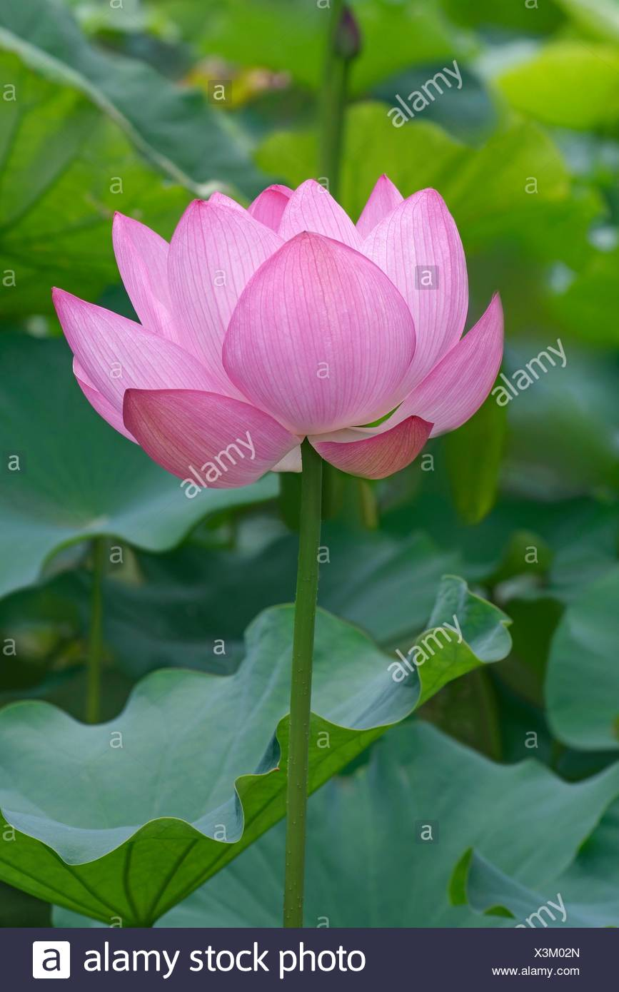 Sacred Lotus Nelumbo Nucifera Called Indian Lotus Bean Of India