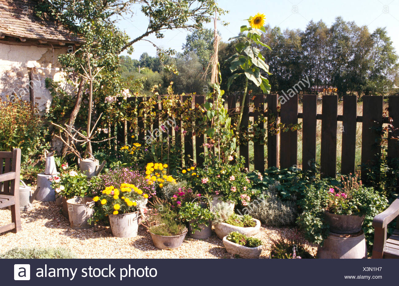 Tall sunflower growing in gravel garden with pots of annuals stock tall sunflower growing in gravel garden with pots of annuals izmirmasajfo
