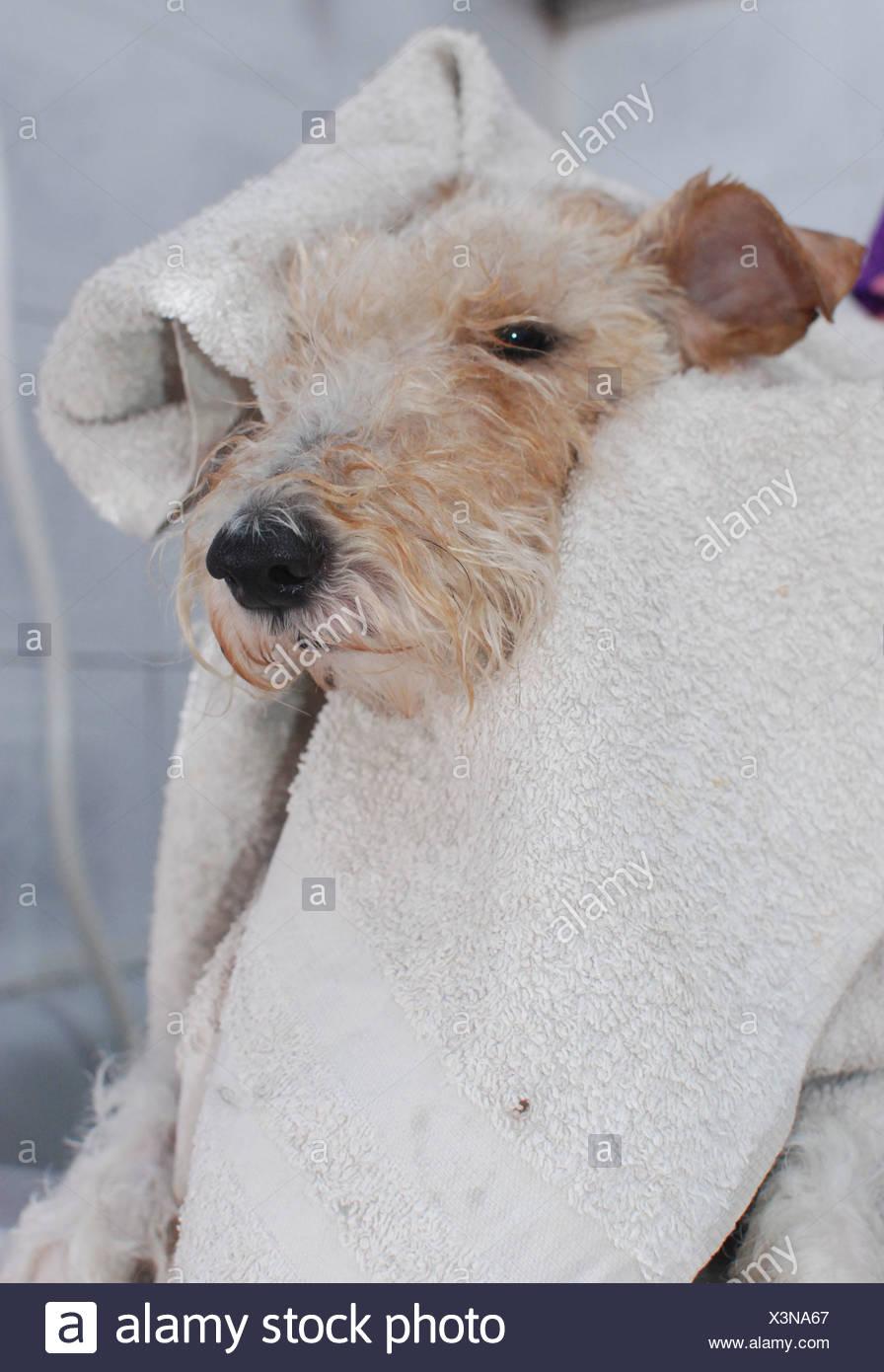 Fox Terrier in the bath Stock Photo: 277678863 - Alamy