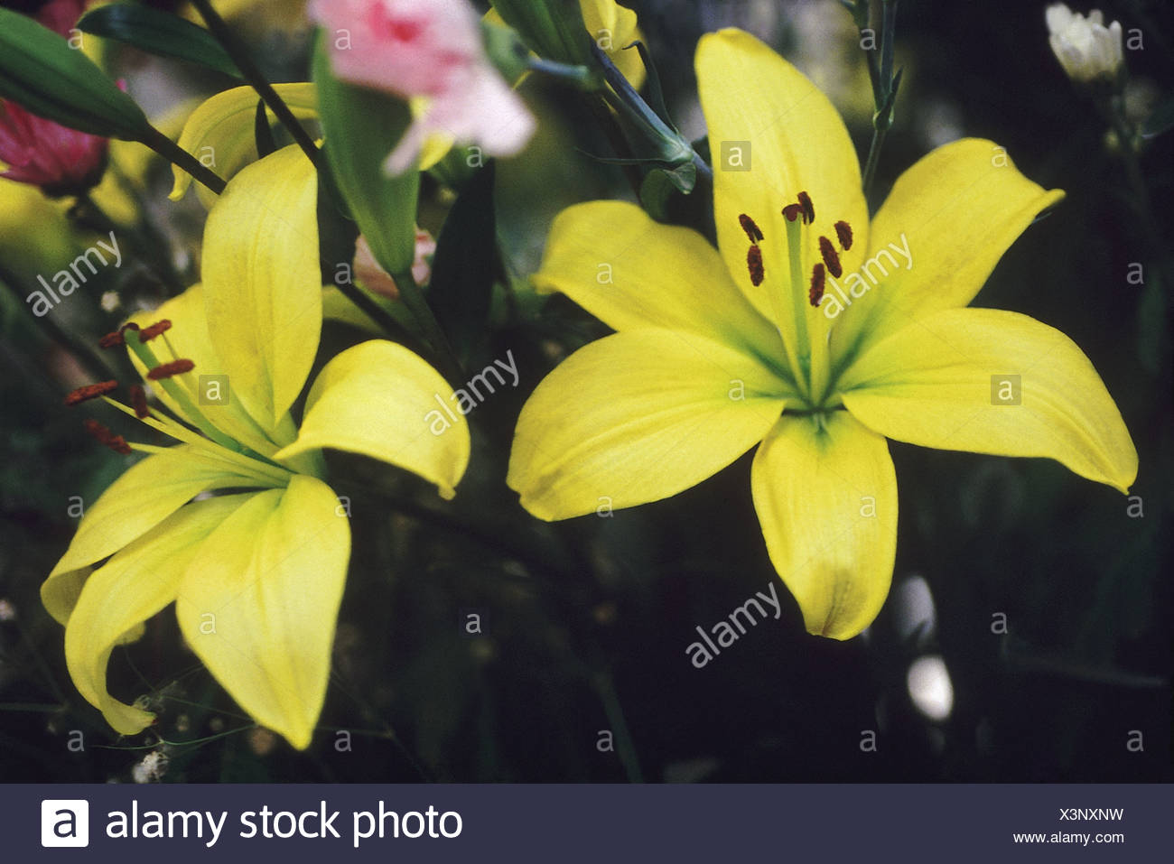 Lily Flowers Symbolize Purity And Refined Beauty Color Or Type Can