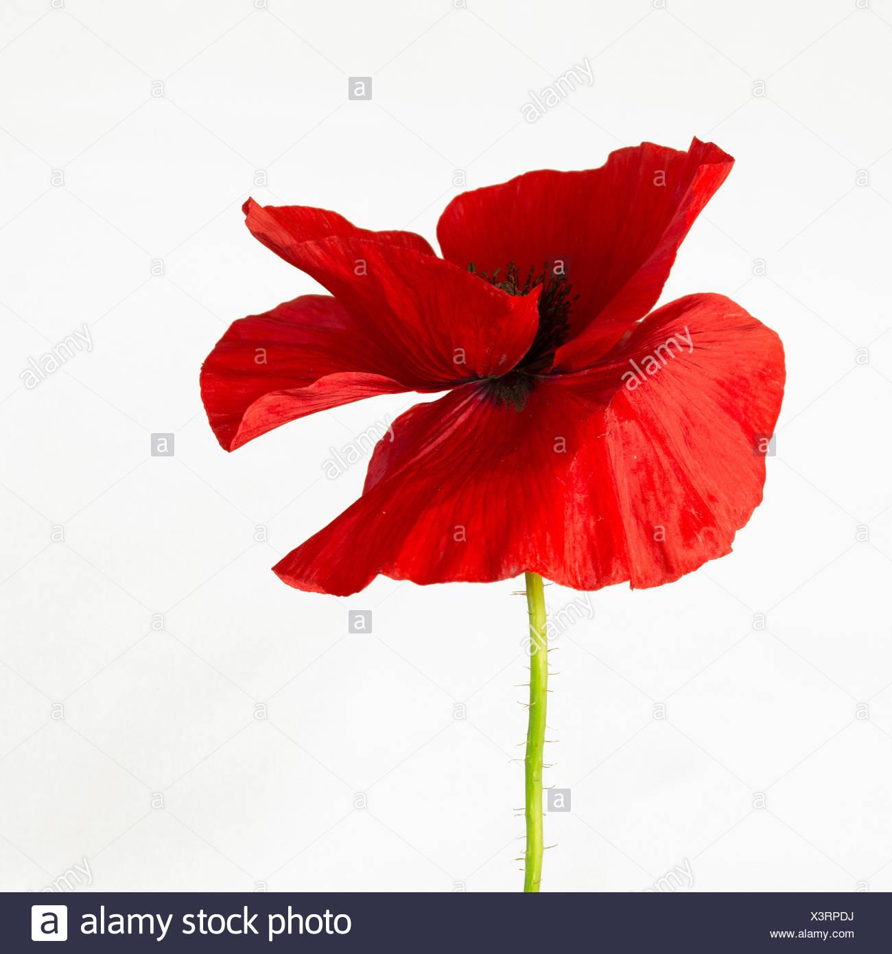 Poppy papaver papaver rhoeas annual beauty in nature belguim poppy papaver papaver rhoeas annual beauty in nature belguim national flower izmirmasajfo