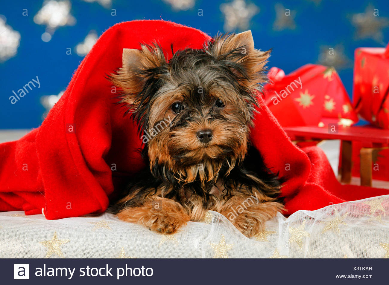 Yorkshire Terrier Christmas Decoration Stock Photo 277751903 Alamy