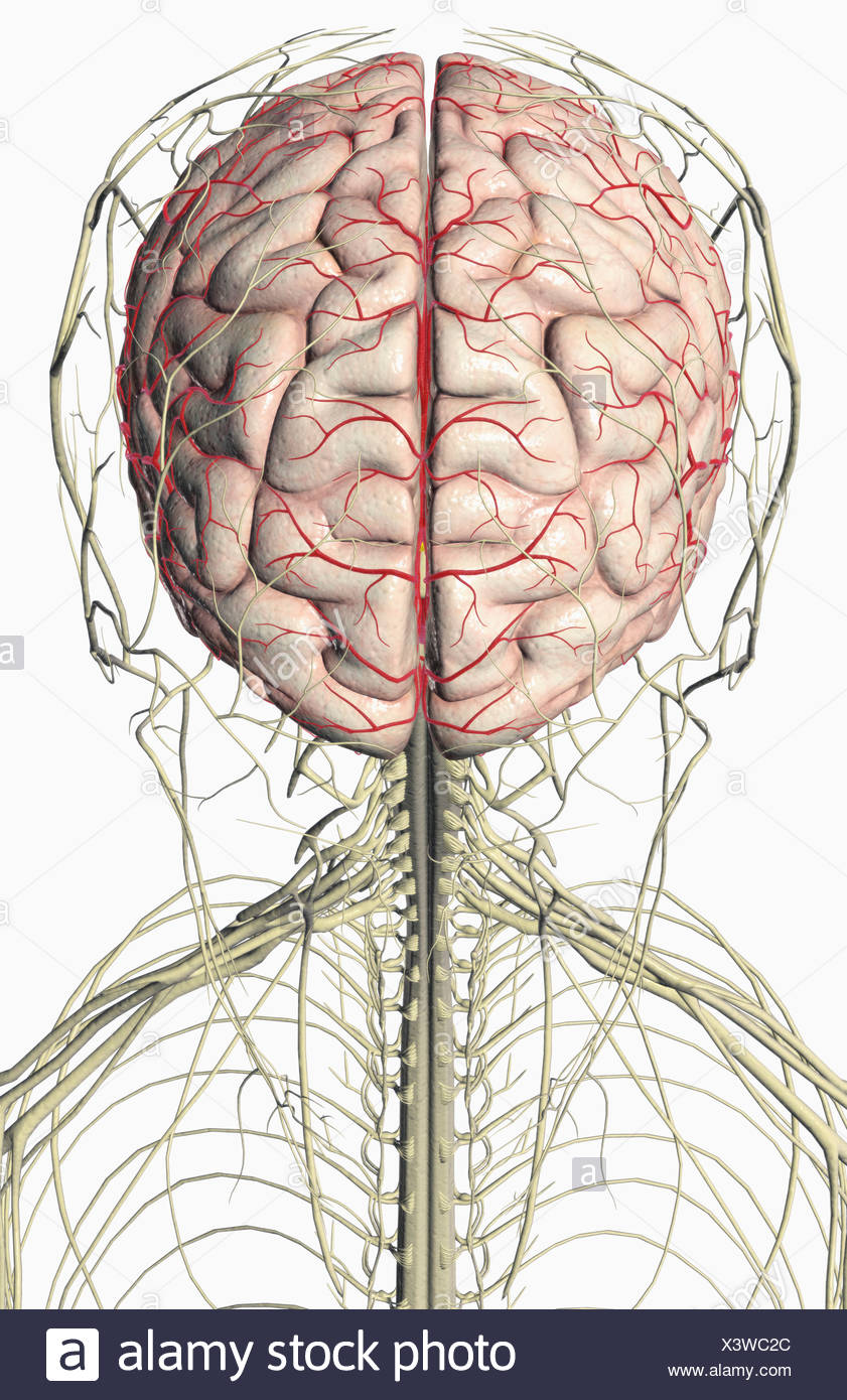 The Brain And Nerves Of The Head And Neck Stock Photo 277768132 Alamy
