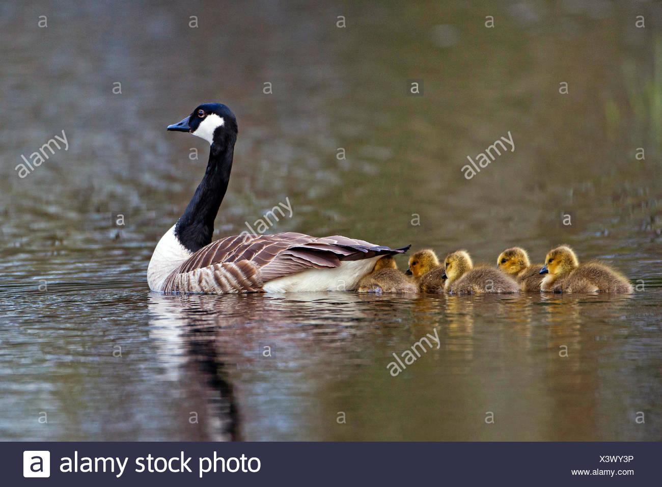 canada goose in sweden
