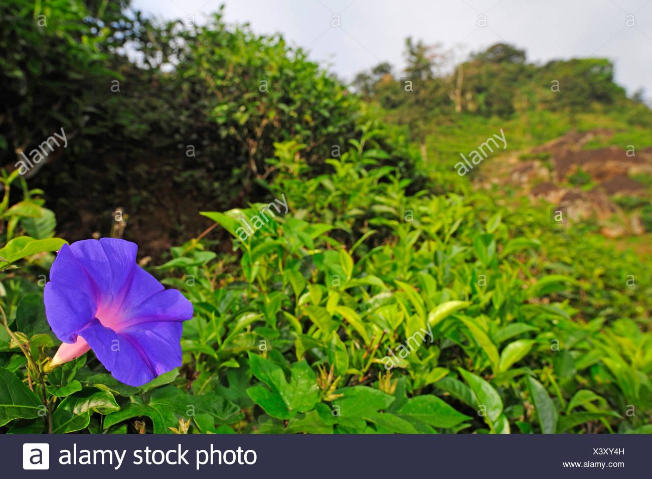Morning glory ipomoea spec stock photos morning glory ipomoea spec blue dawn flower oceanblue morning glory blue morning glory ipomoea spec izmirmasajfo Choice Image