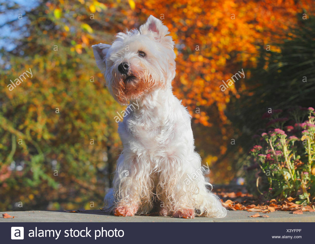 West Highland White Terrier, Westie (Canis lupus f. familiaris ...