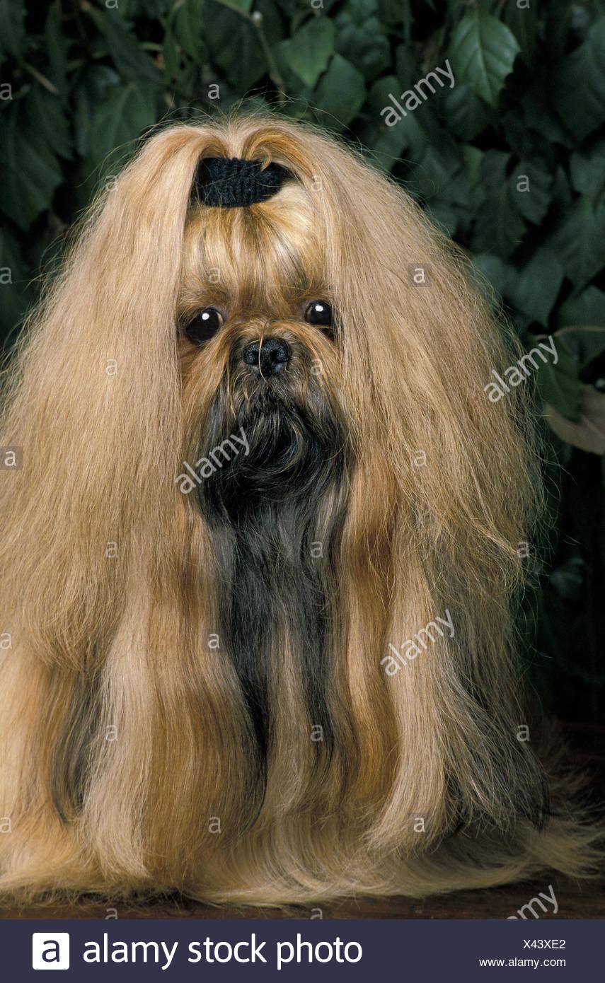 Shi Tzu Dog Adult With Long Hair Stock Photo 277911146 Alamy