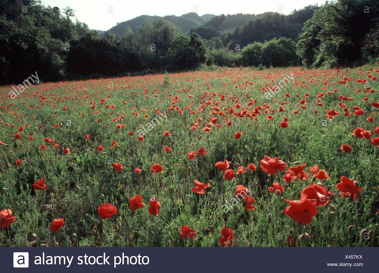 Poppy Flower Field Marche Italy Stock Photo 277940318 Alamy