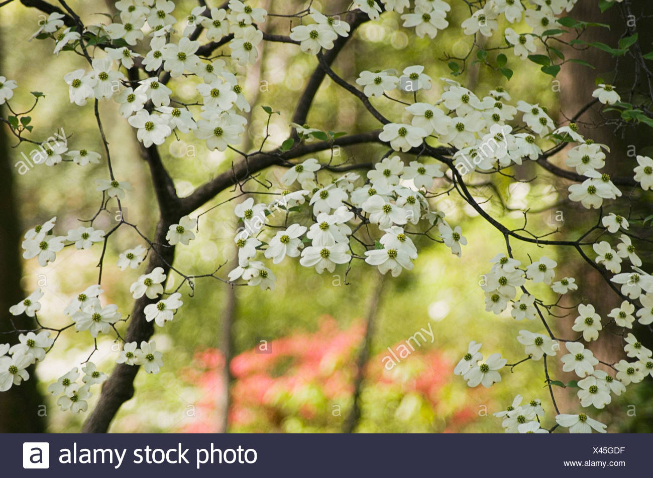 Cornus Florida Dogwood Flowering Dogwood White Flowers On