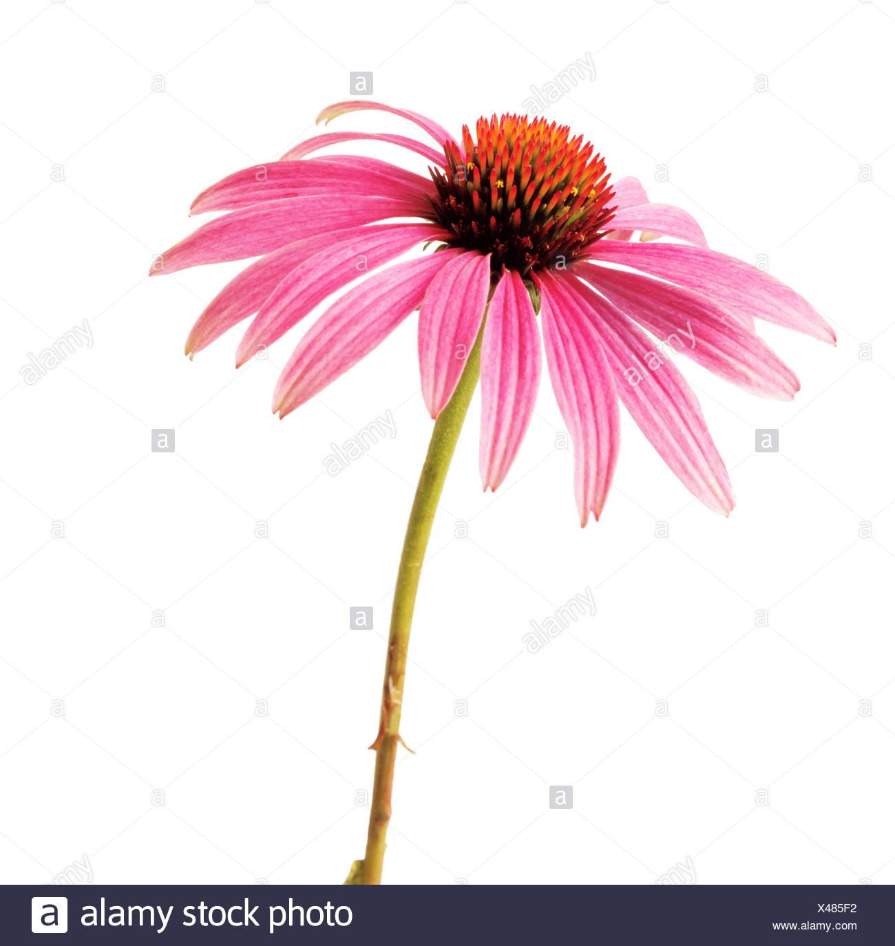 Echinacea Purple Coneflower Single Pink Flower On Stem Against A
