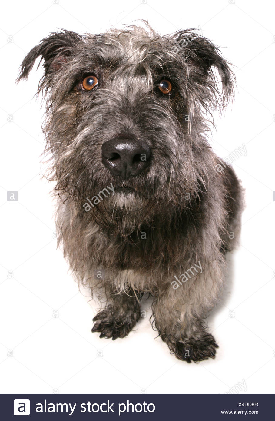 Domestic dog glen of imaal terrier adult sitting stock photo domestic dog glen of imaal terrier adult sitting thecheapjerseys Image collections