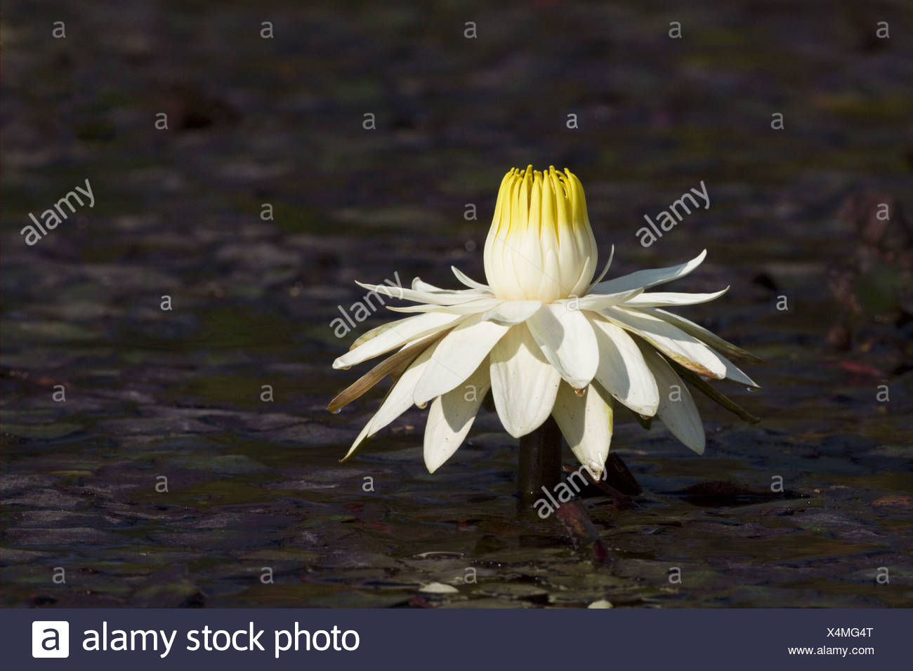 Night blooming waterlily nymphaea lotus flower fully open in late night blooming waterlily nymphaea lotus flower fully open in late afternoon okavango delta botswana izmirmasajfo