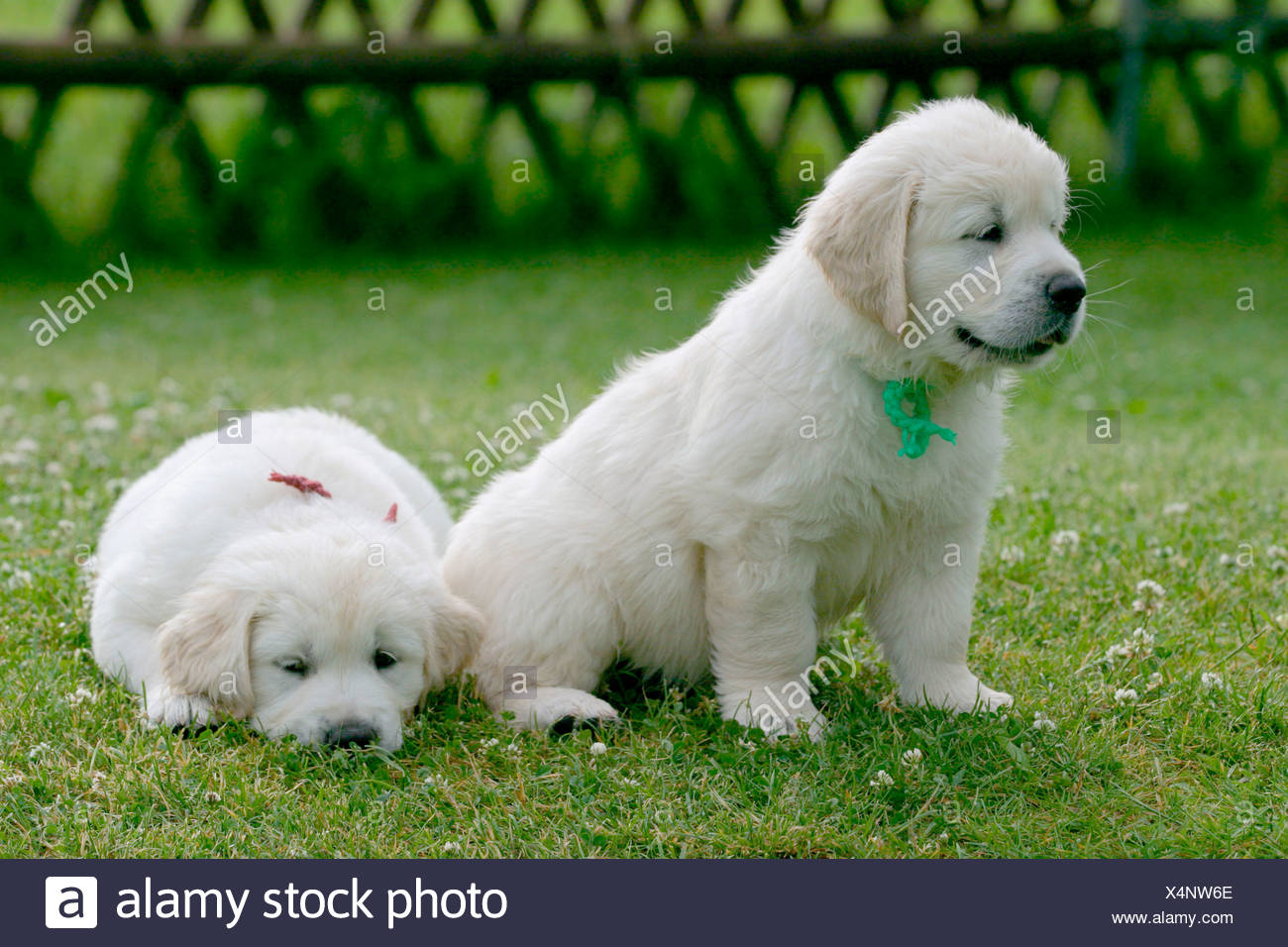 Golden Retriever Welpen Golden Retriever Pups Stock Photo