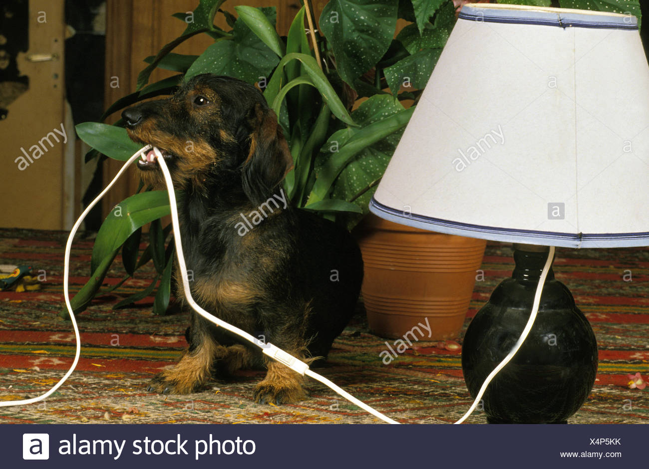 WIRE-HAIRED DACHSHUND CHEWING ELECTRIC CABLE Stock Photo: 278311927 ...