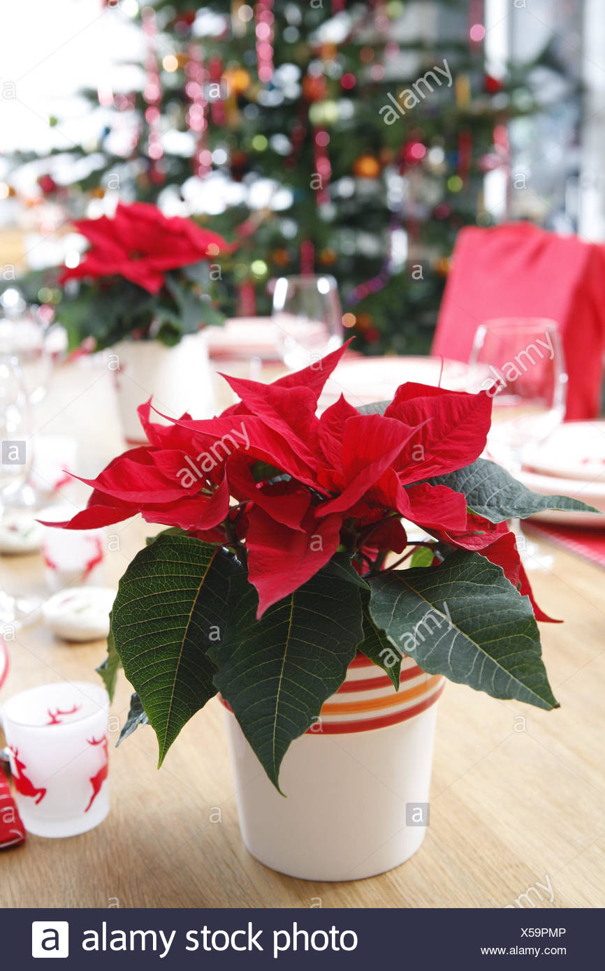 table poinsettia christmas tree decorated no people