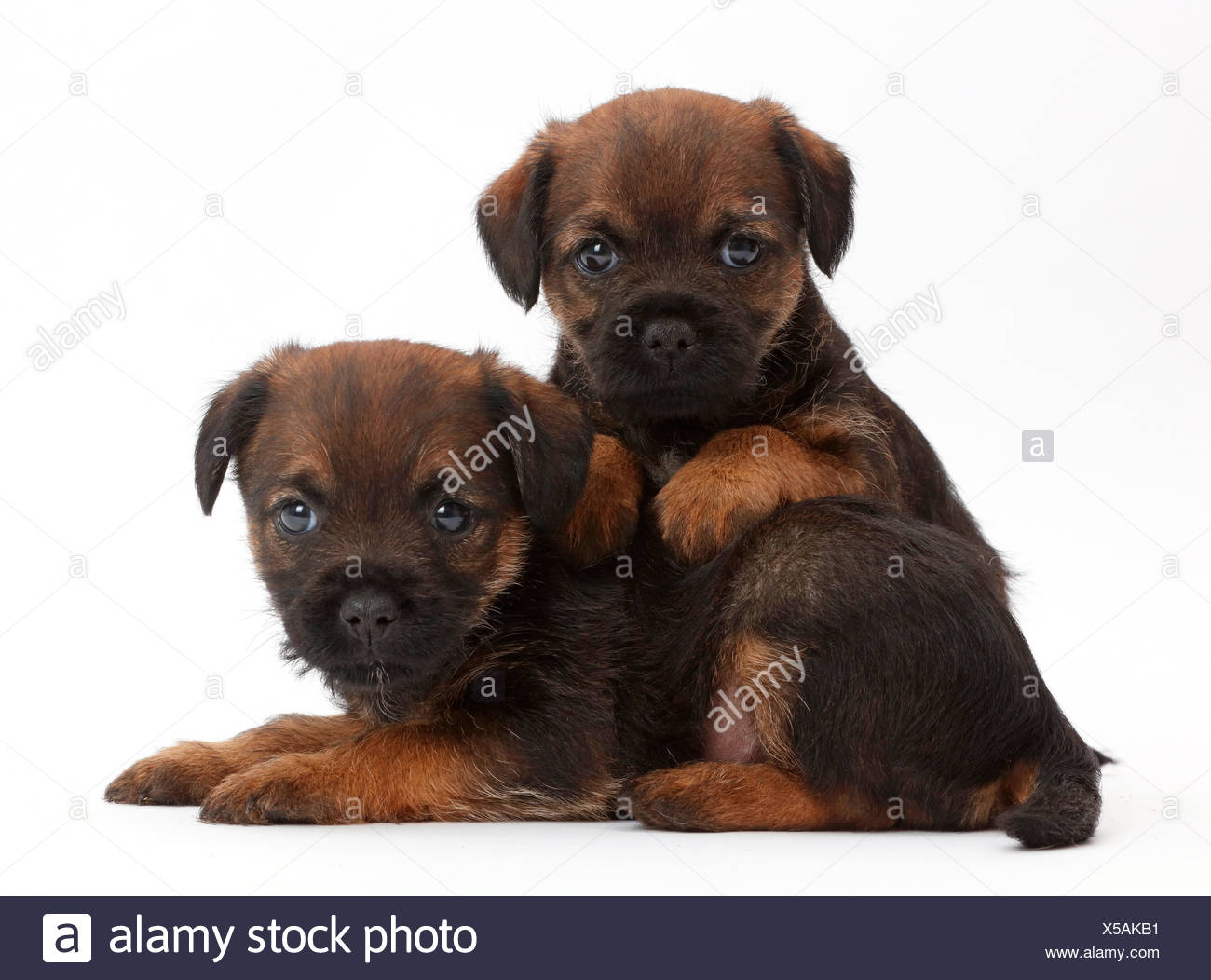 Border Terrier Puppies Stock Photos  | Border Terrier Puppies For Sale Cape Town