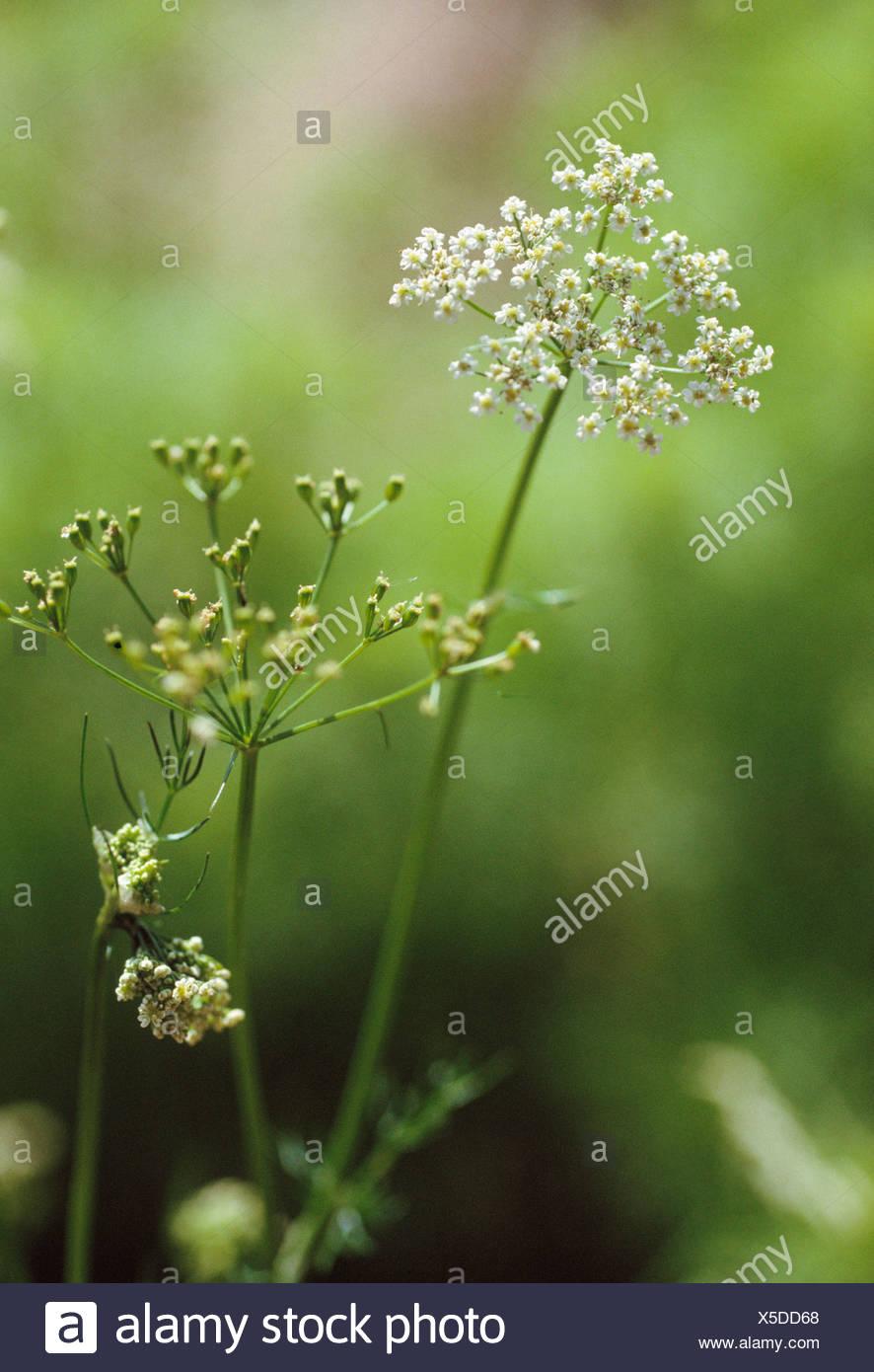 Coriander Coriandrum Sativum White Flowers On Long Stem Of Herb