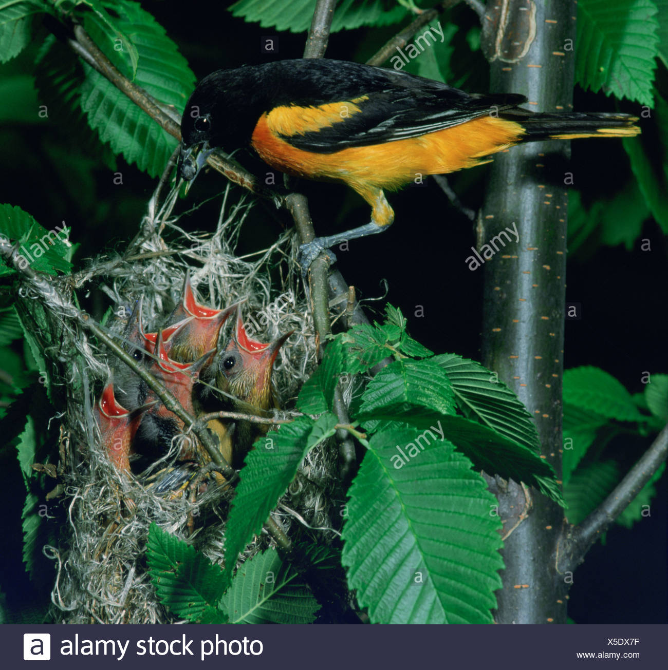 An Adult Male Baltimore Oriole Brings Food To His Five Hungry Chicks
