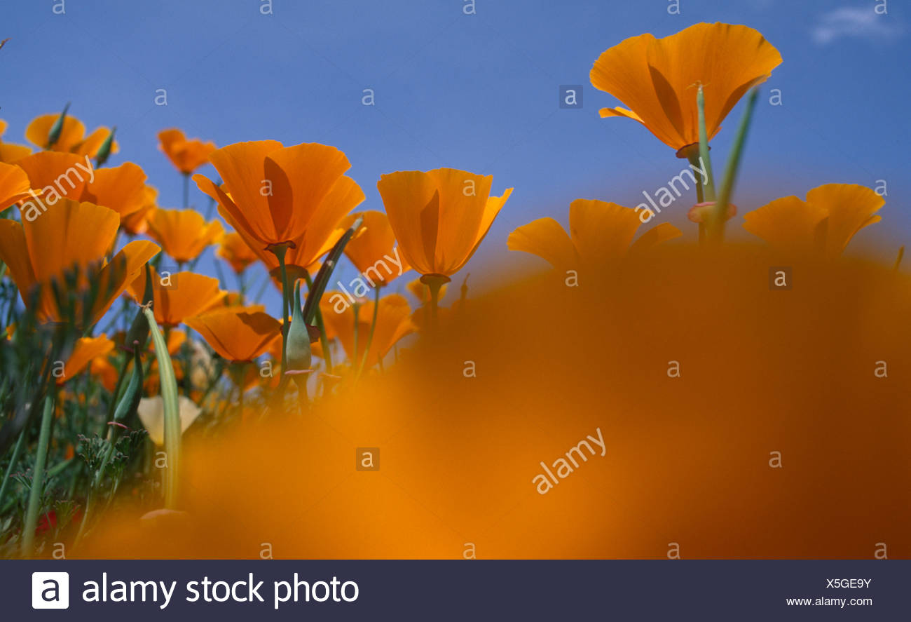 California Golden Poppy Flowers Eschscholzia Californica In A