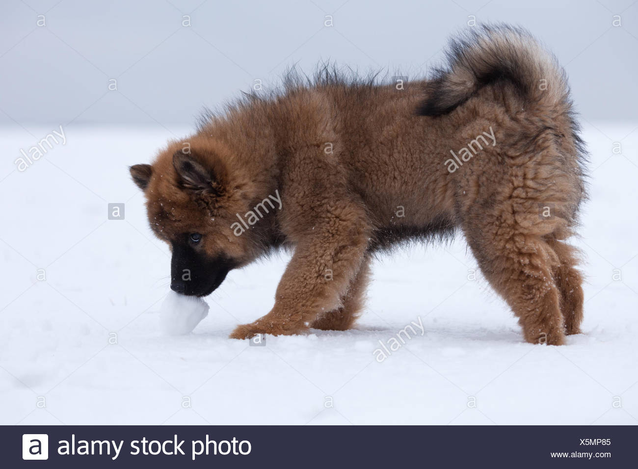 eurasian puppy with snowball stock photo 278895685 alamy