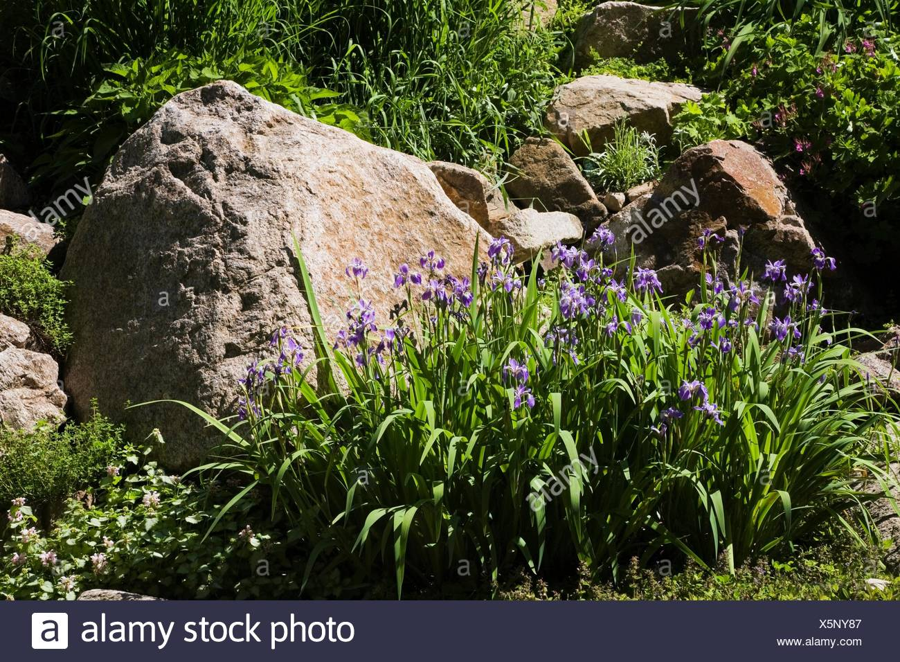 Purple Iris Flowers Bordered By Large Rock In Backyard Garden In