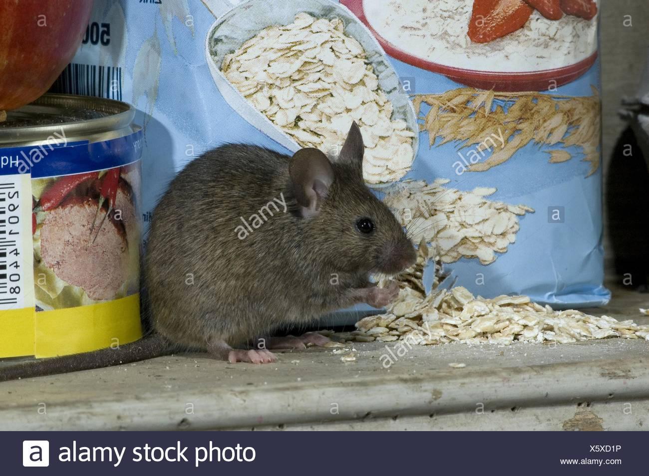mice eats oat flakes in kitchen Stock Photo: 279020162 - Alamy
