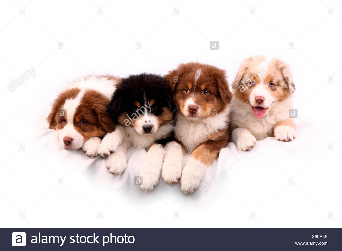 Australian Shepherd Four Puppies 6 Weeks Old Lying Next To Each