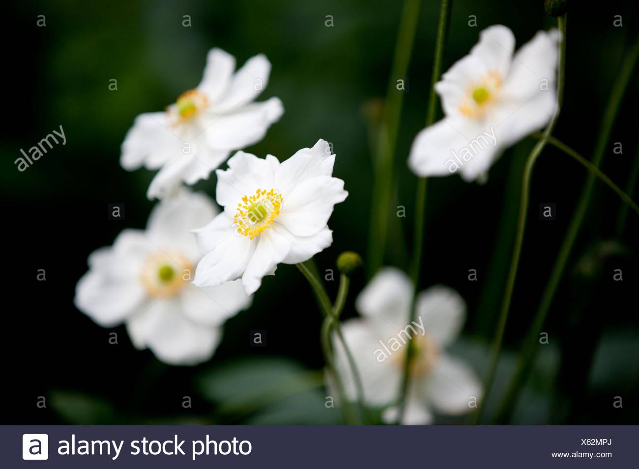 White Japanese Anemone Flowers Stock Photo 279114042 Alamy