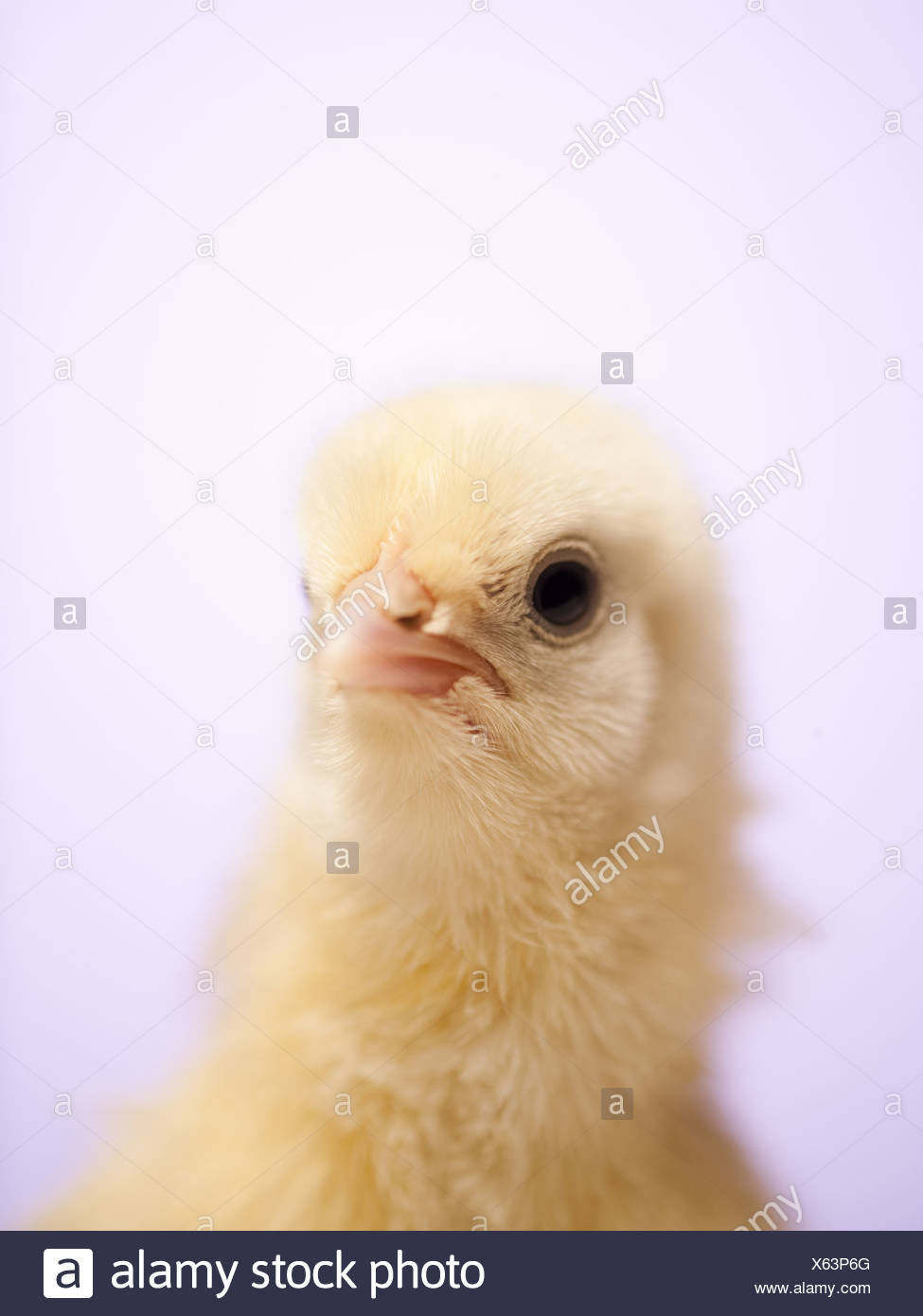 newly hatched chick with egg shell stock photo 279137112 alamy