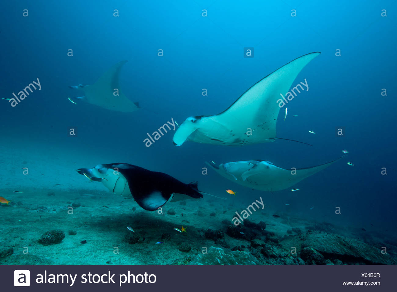School of manta ray stock photos school of manta ray for Fish cleaning station near me