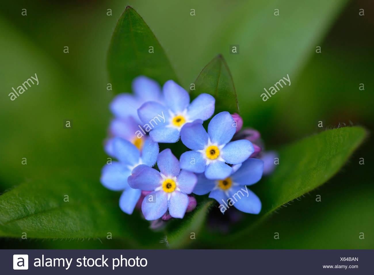 Forget me not myosotis scorpioides cluster of small blue flowers forget me not myosotis scorpioides cluster of small blue flowers izmirmasajfo
