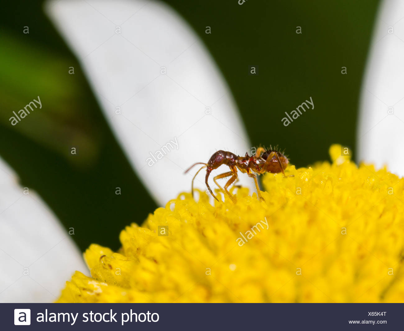 samsel bug himacerus mirmicoides young larva hunting thrips on a ox eye