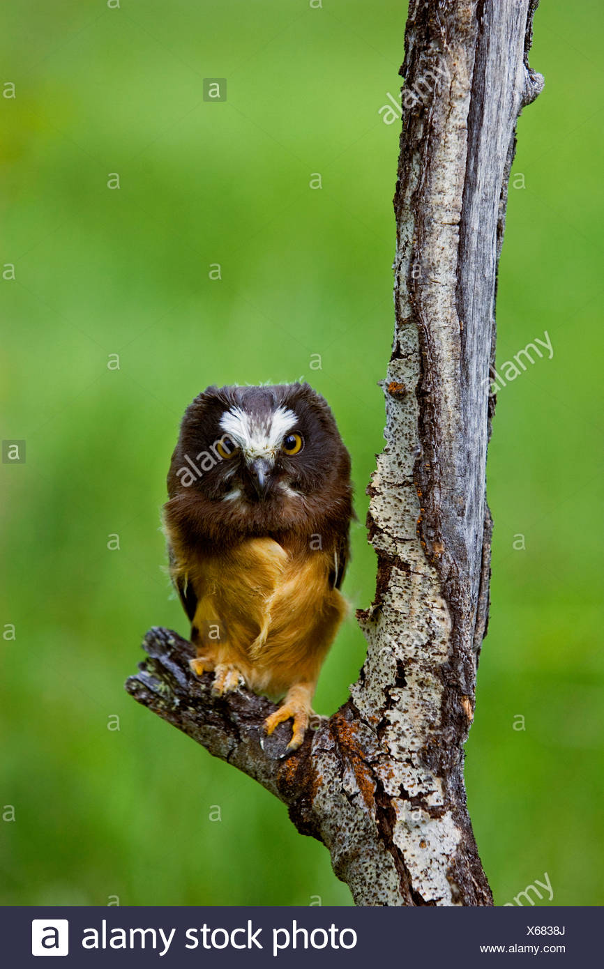 northern saw whet owl aegolius acadicus in the grasslands of