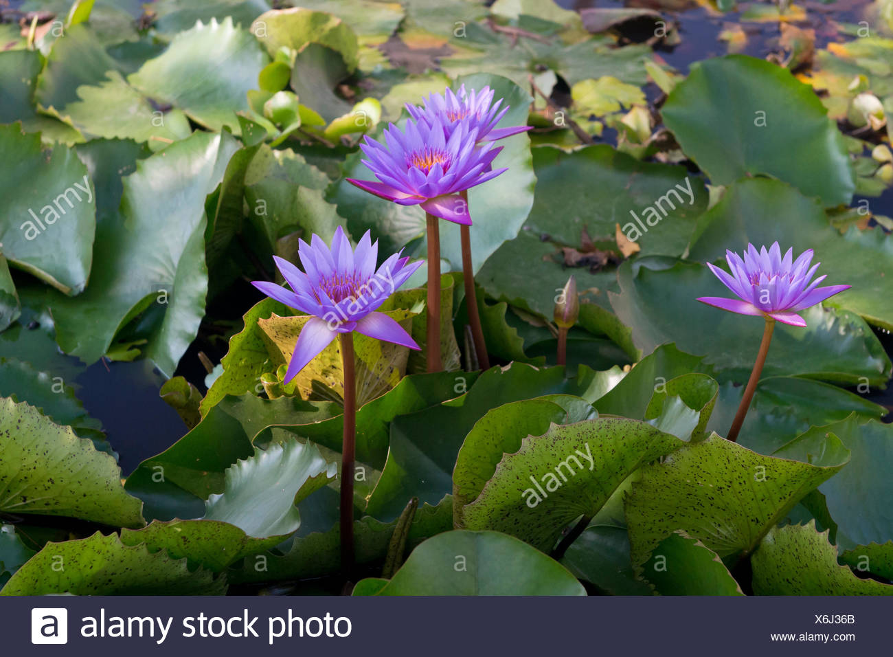 Blue Purple Lotus Flowers Stock Photo 279451491 Alamy