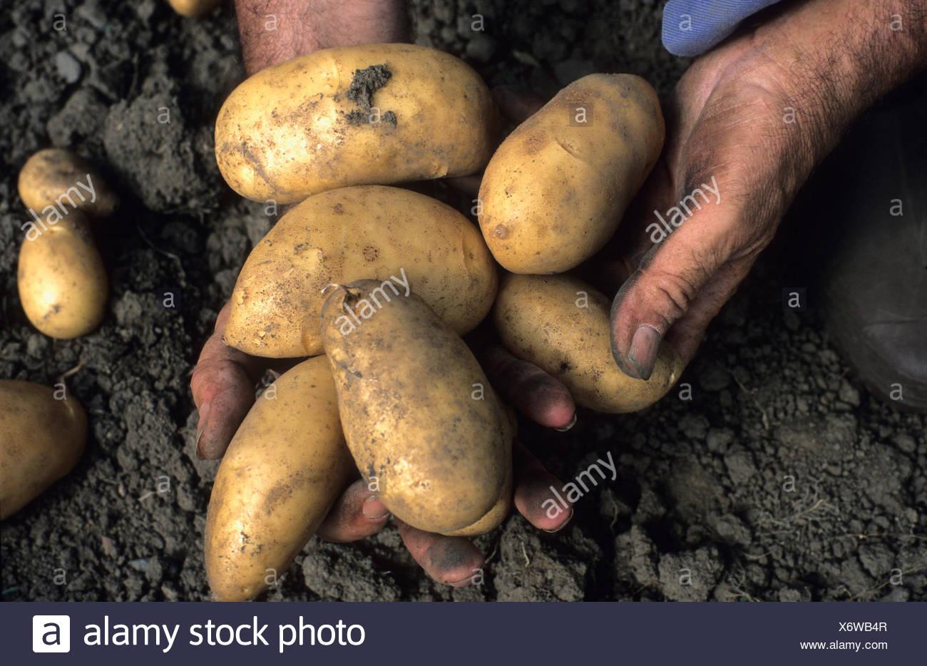 Dirty hands of gardener holding potatoes Stock Photo: 279611383 - Alamy