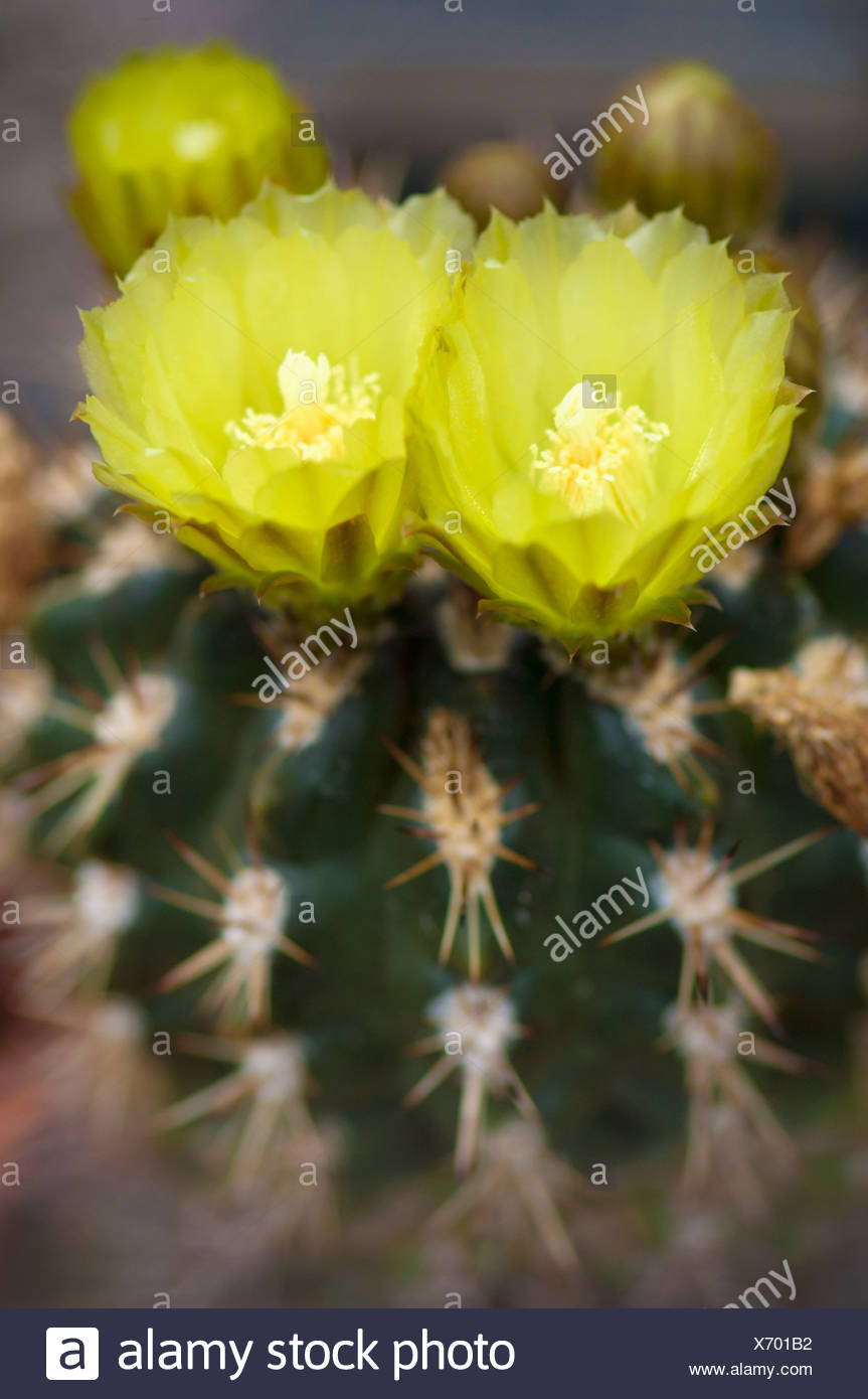 Yellow Cactus Flower In Bloom Berkeley California United States