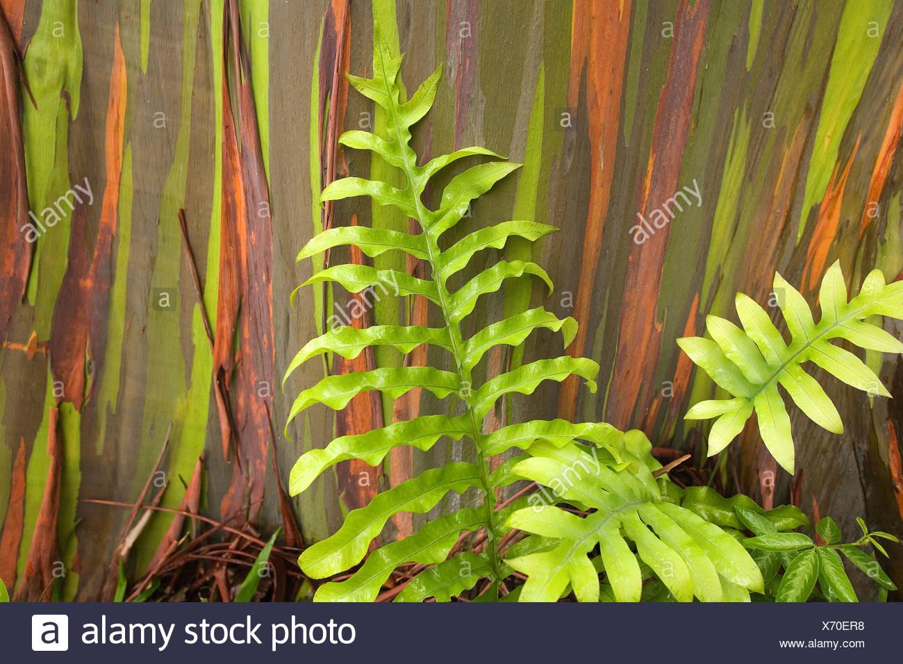 hawaii maui hana fern and rainbow eucalyptus tree stock photo