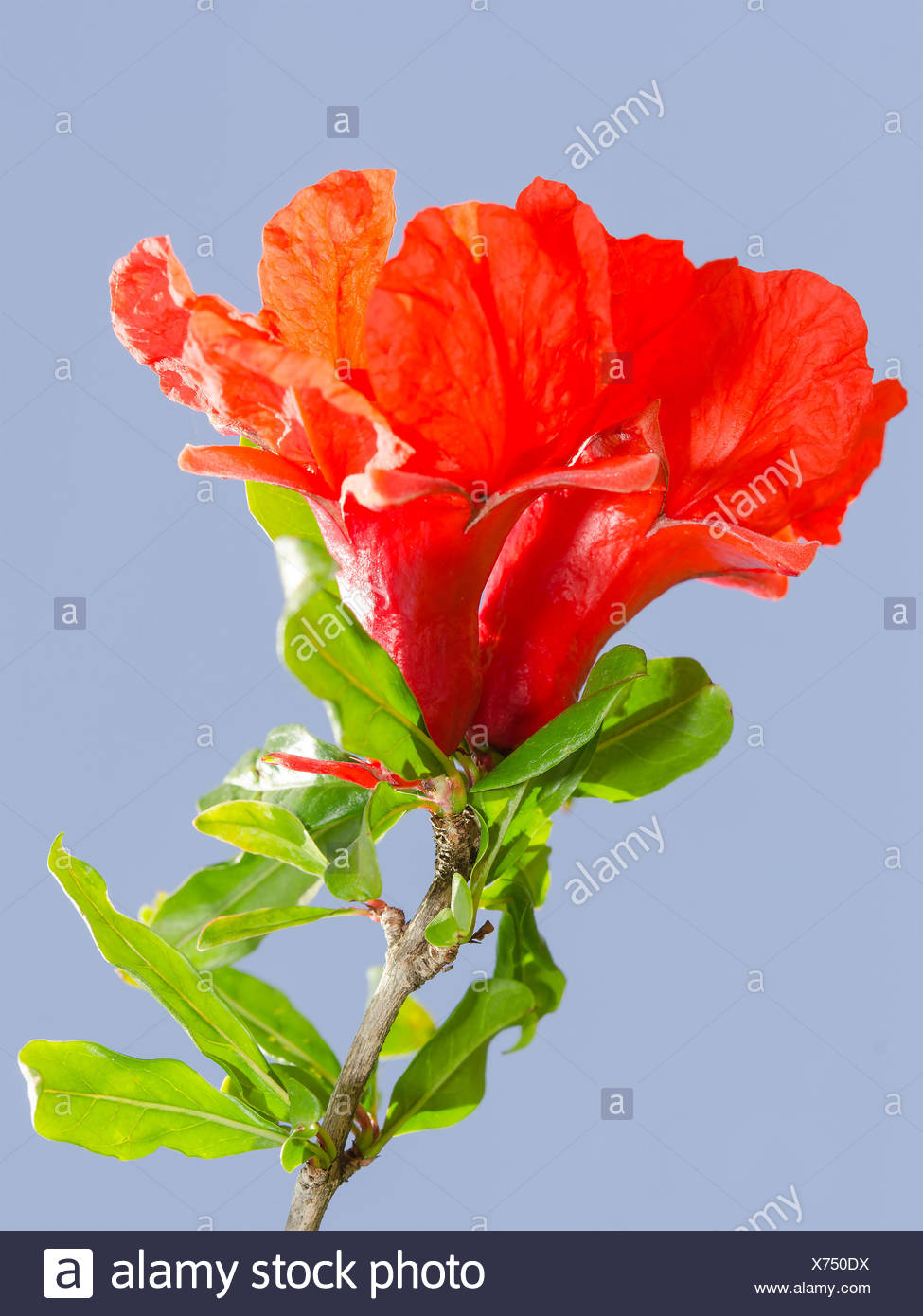 Bright Red Pomegranate Flowers Ovary And Petals Against Clear Blue