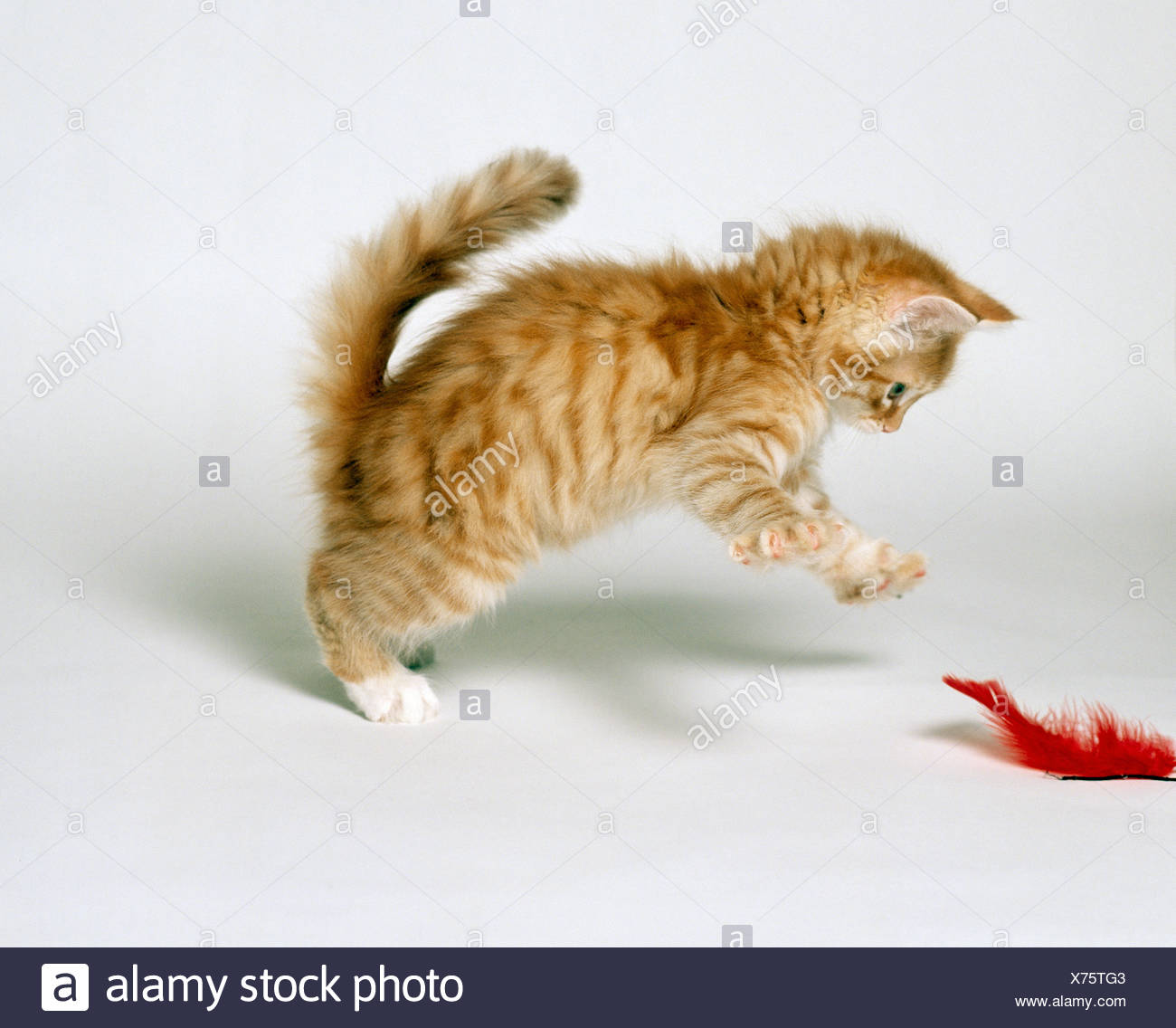 Angora Cat Kitten Playing With Feather Stock Photo 279797507 Alamy