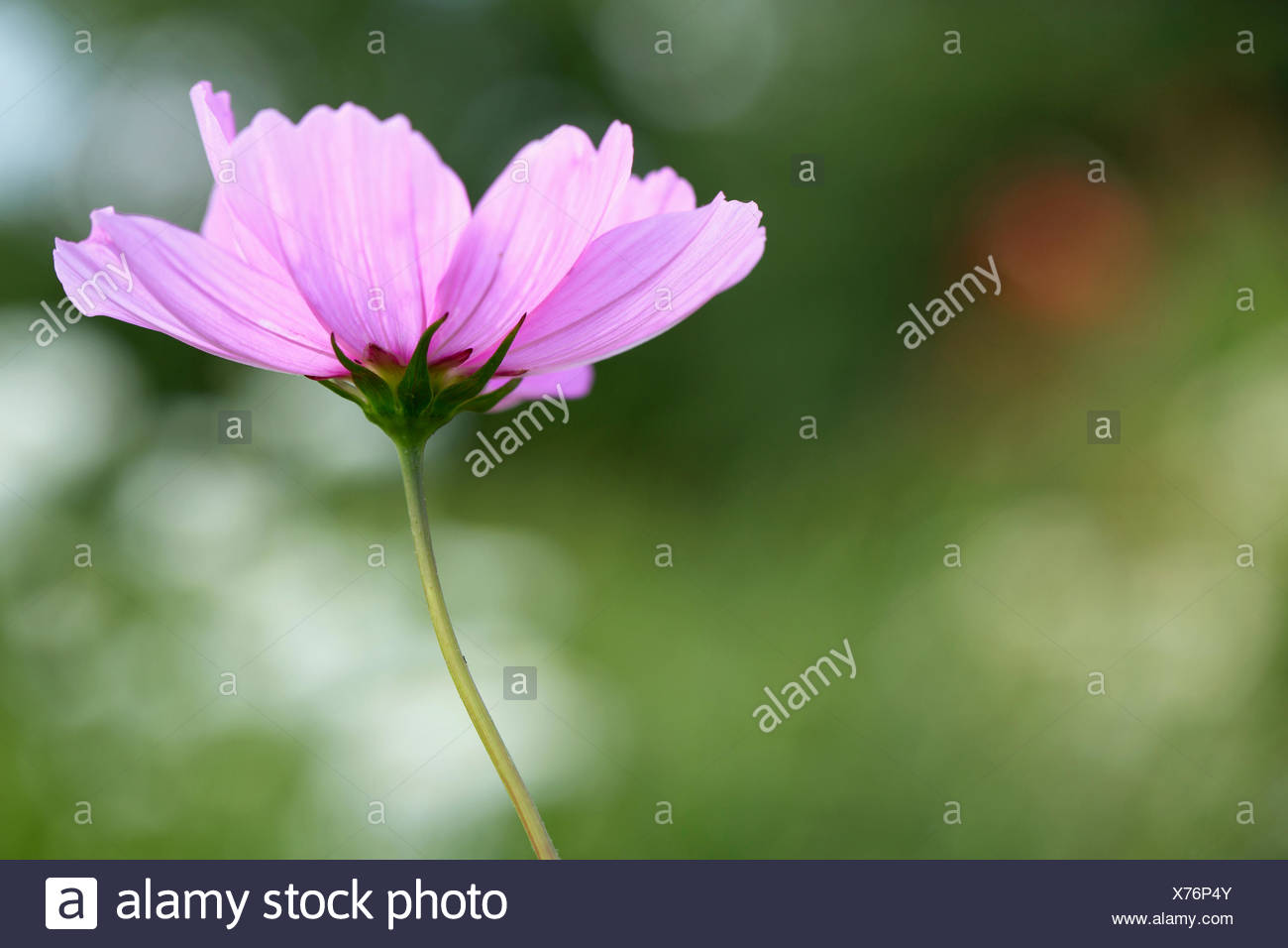 Cosmos pinkie cosmos cosmos bipinnatus pinkie annual beauty cosmos pinkie cosmos cosmos bipinnatus pinkie annual beauty in nature colour contemporary creative dreamlike flower autumn flowering izmirmasajfo