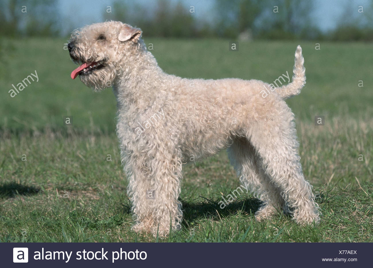 Soft Coated Wheaten Terrier Haircut Styles The Best Haircut Of 2018