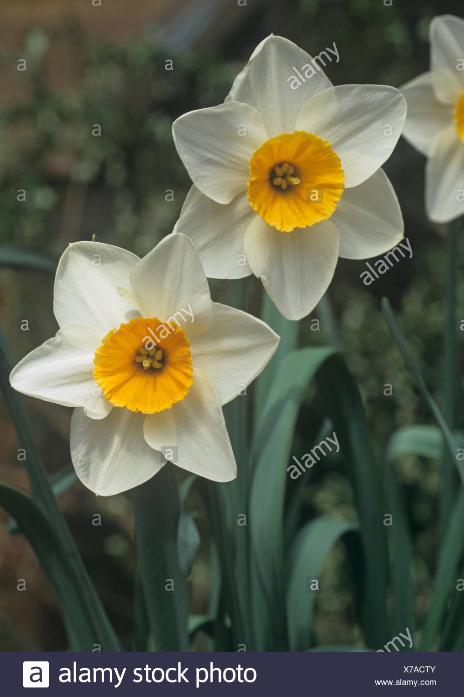 Flowers of spring flowering bulb narcissus bodwannic with white flowers of spring flowering bulb narcissus bodwannic with white outer perianth and yellow corona mightylinksfo