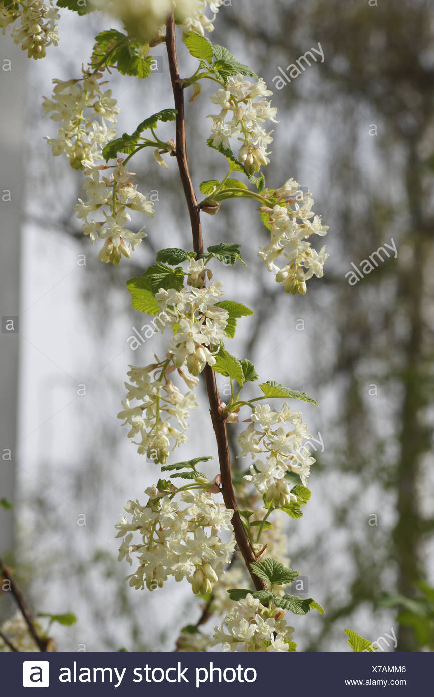 White Flowering Currant Stock Photo 279904246 Alamy