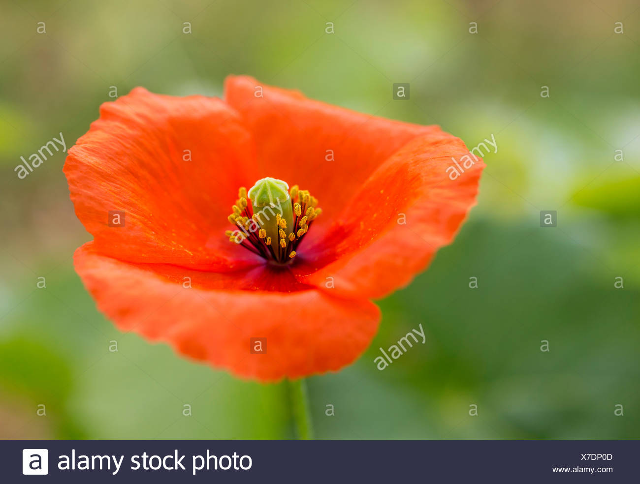Poppy Or Corn Poppy Papaver Rhoeas Flower Vila Real District