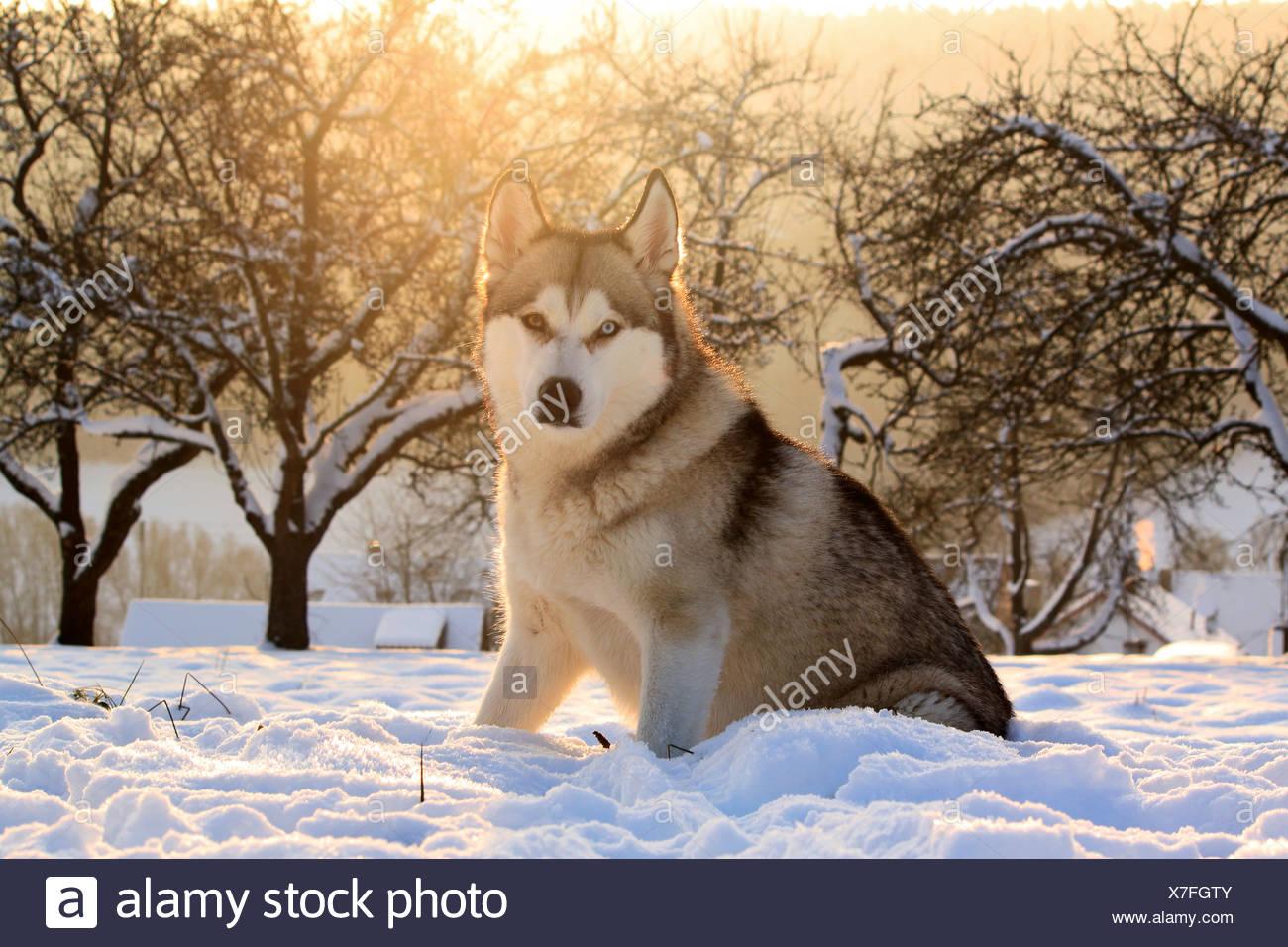 Siberian Husky Dog In Snow Stock Photo 280011003 Alamy