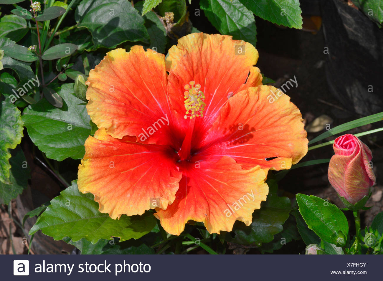 Hawaiian Hibiscus Flower Pune Stock Photo 280011451 Alamy