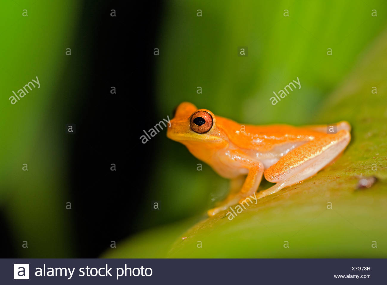 golden toad on a leaf costa rica stock photo 280025307 alamy