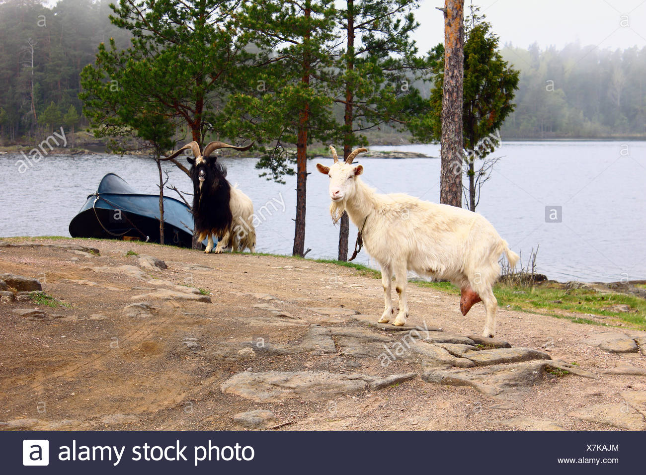 two goats and a boat on the island stock photo 280093932 alamy